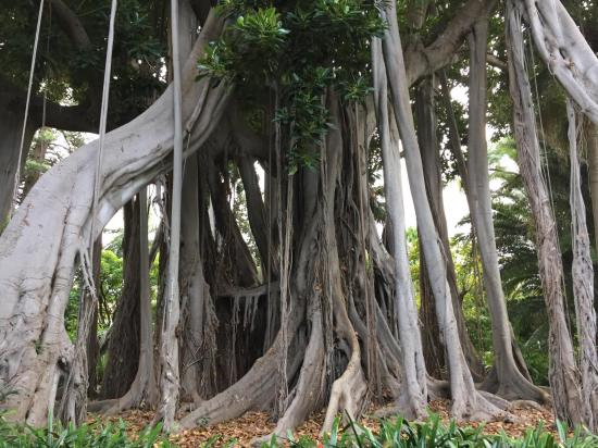15 Ficus macrophylla