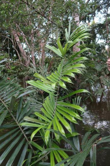Manaus 4
