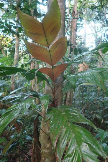 Manaus 5