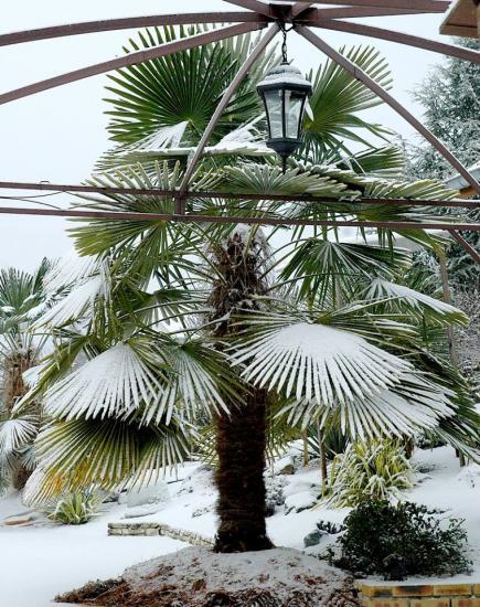 Marylise M Trachycarpus fortunei