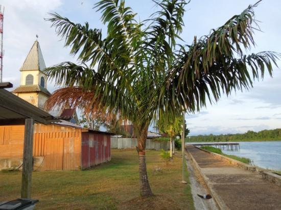Oenocarpus distichus