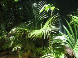 howea foresteriana
