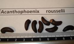 Acanthophoenix rousselii rub