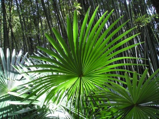 candidat-n-4-photo-a-trachycarpus-fortunei-palme-parfaite.jpg