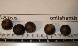 Dypsis onilahensis rub