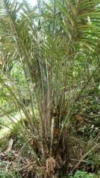 Le palmier salak salacca zalacca RB