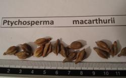 Ptychosperma macarthurii rub