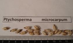 Ptychosperma microcarpum rub