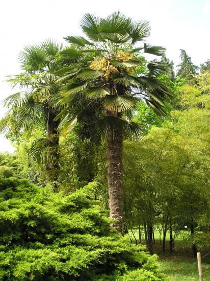 Trachycarpus wagnerianus isa
